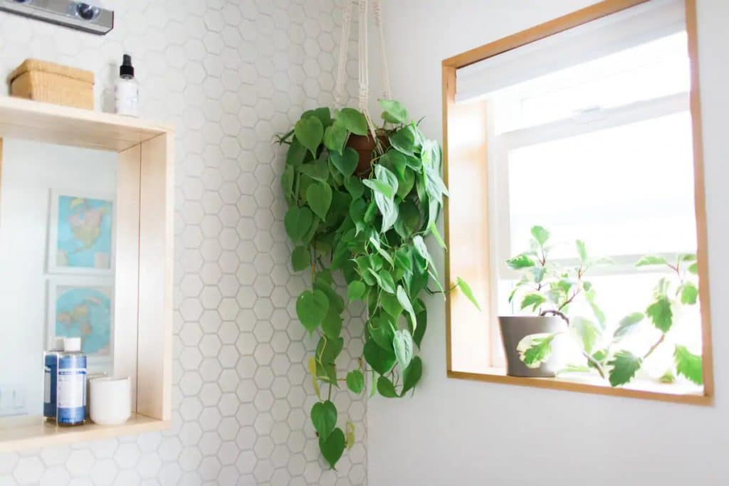 Hanging plant in bathroom