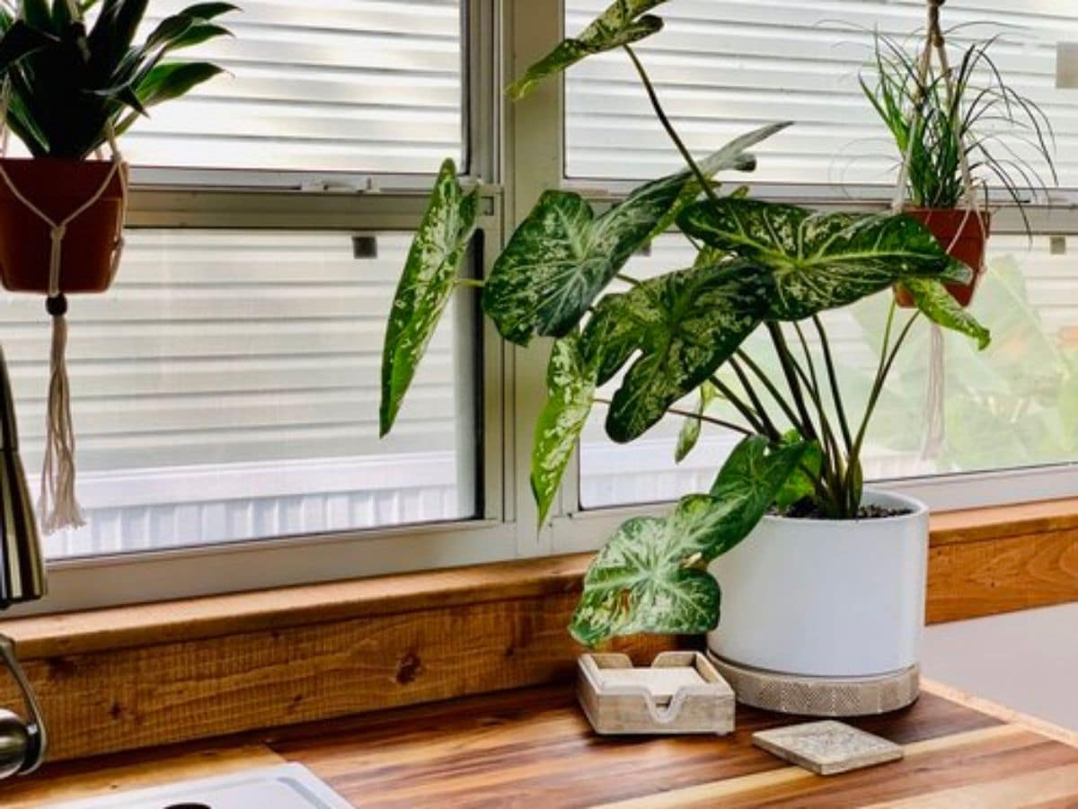 potted plant on edge of counter next to windows with blinds